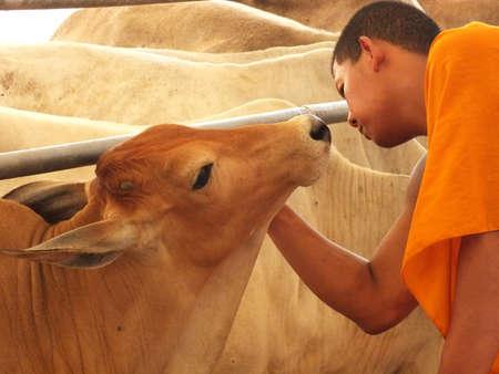 bondad: El monje budista tailandés mostrar misericordia a la vaca que el templo salvarlos de la masacre casa y dio a la Fama, es un verdadero amor sin límites (la ceremonia de ahorro está mostrando al público en Wat Sameannari) Editorial