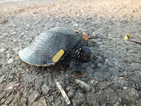 Soft-shelled turtle on the ground Stock Photo - 15239190
