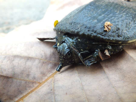 Soft-shelled turtle on dry leaf Stock Photo - 15239189