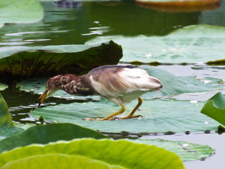 Heron attacking moment ---high speed Stock Photo - 11944738