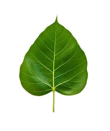 isolation: Bhodi Leaves (isolation) Stock Photo