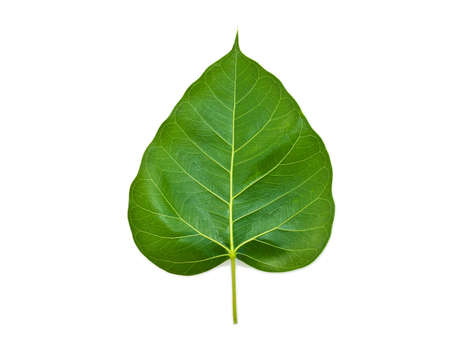 Bhodi Leaves (isolation).Bhodi tree is known as a spiritual tree. Bhuddhist believes there are angels living in their.  photo