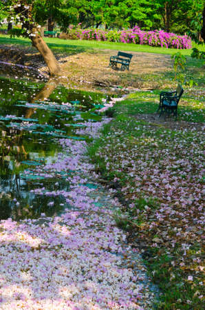 Sakura is falling so the pond is covered with pinky sakura photo