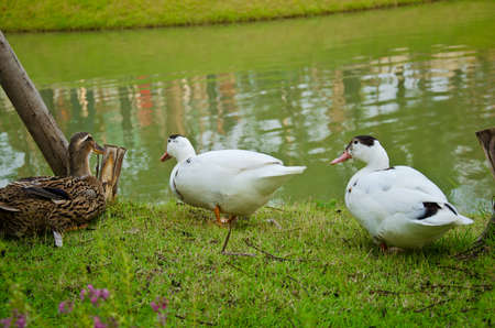 Three ducks near the green pond in the rural area photo