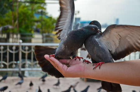 Two pigeons Fighting for food on the hand Stock Photo - 12707113