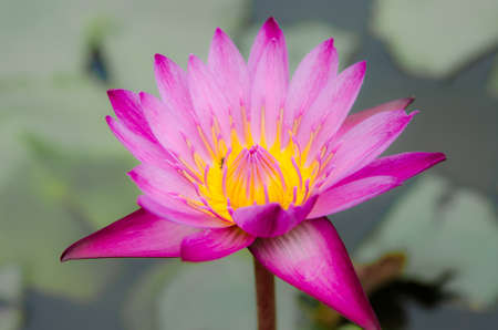 Beaitiful pink lotus in the middle of the pond photo