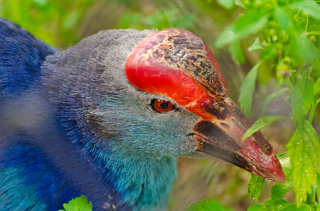 A closeup of Purple Swamphen  bird  while it is finding food in the wilderness Stock Photo - 13110936