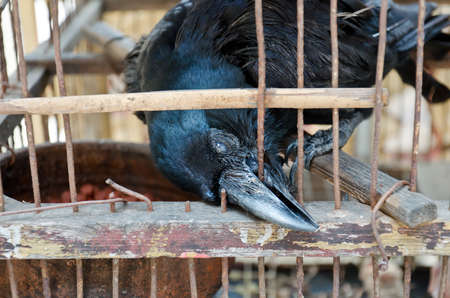 A blind crow is seeking its freedom  It is in bad condition and trying to break free by biting the wire cage over and over again  Stock Photo - 13165770