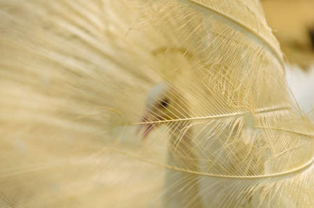 peafowl: Golden peafowl tail-feathers in details