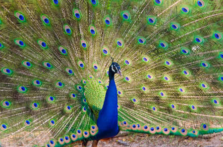pavo: An Indian peafowl is spreading it s tail-feathers to the female