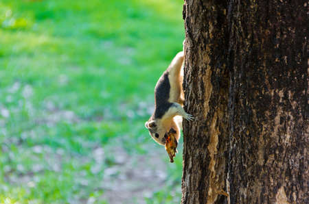 fruit eater: The squirrel is eating a dry fruit while grabbing to a tree trunk Stock Photo