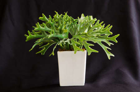 platycerium: Ridleyi Fern in the white little pot, on the black cloth background Stock Photo