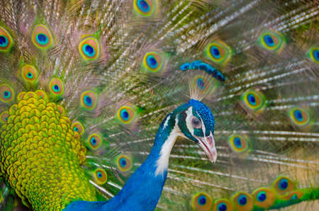 peahen: An Indian peafowl is spreading it feathers to the female