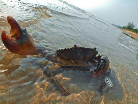 nipper: Aggresive crab preparing to attack