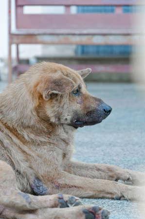 lepra: Perros vagabundos mirar hacia adelante sin ningún propósito excact