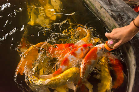 Feeding Carp fish with baby milk bottle in Thailand Carp farm Stock Photo - 17694357