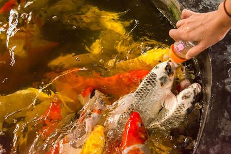 Feeding Carp fish with baby milk bottle in Thailand Carp farm Stock Photo - 17694358