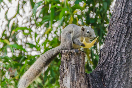 Grey Squirrel eating piece of fruit on the tree top Stock Photo - 18495946