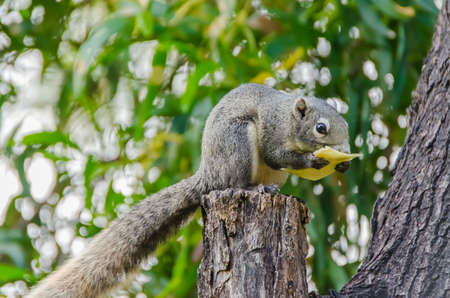 Grey Squirrel eating piece of fruit on the tree top Stock Photo - 18495944