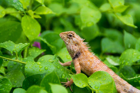 Moustached crested lizard on the wet leaves of rainy season. A real wildlife picture. Stock Photo - 19023585