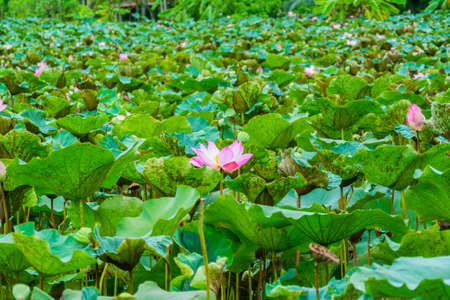 Great lotus pond with wilderness atmosphere in Thailand Stock Photo - 19193804