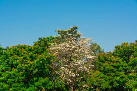 treetop: Colorful treetop with white Chinese rose in the middle with blue sky background