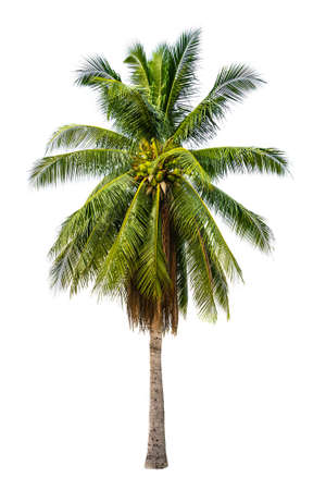 Palm tree in white isolated background with rich detail
