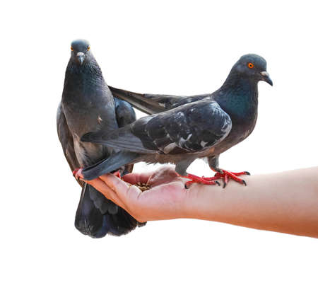 Two pigeons eating food food on the hand white background photo