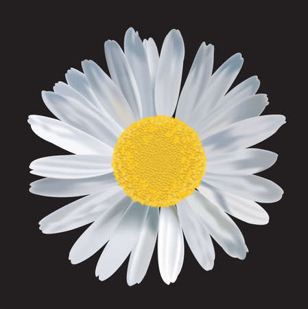 isolation: Big Daisy flower with rich detail in black isolation background