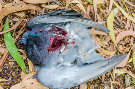 A pigeon has been shot to death with open wound and swarming with flies photo
