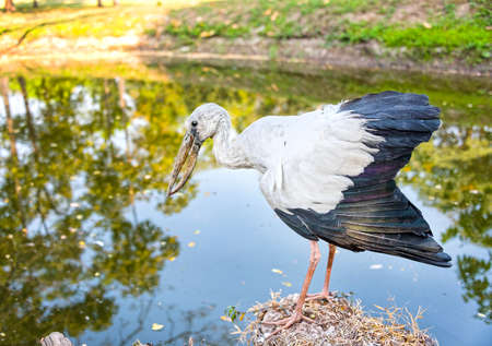 ardeidae: A heron standing on a rock near the swamp ready to catch a fish