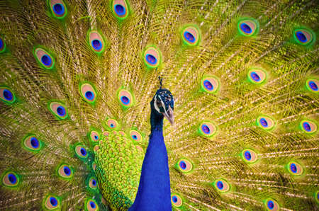 spreading: An Indian peafowl is spreading feather