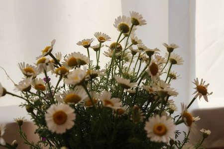 Daisies grow in a garden around greens in summer