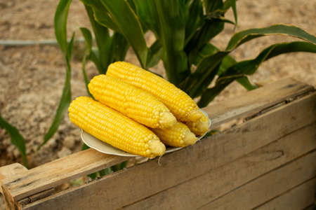 Young corn grows on a bed in the summer Stock fotó