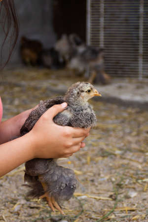 Little gray chicken sits on the girls hands on a gray background