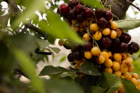 Multicolored cherries strung on a stick hanging on a green tree