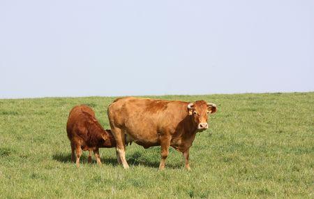 Hungry Limousin calf photo