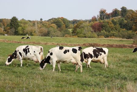Milk production - three Holstein-Friesland cows with very full udders photo