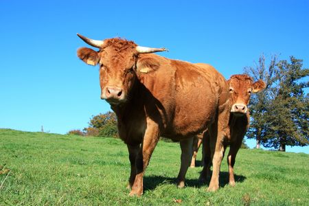 Twos company - two Limousin cows on a green hillside