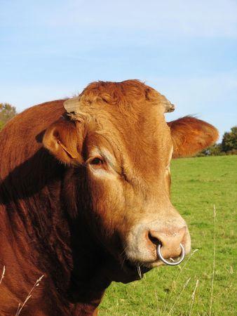 cuero vaca: Un toro con un anillo de la nariz