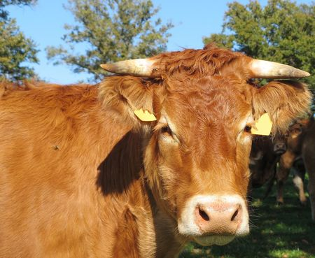 A close up of the head of a Limousin cow in the sun Stock Photo