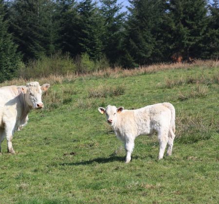 globalwarming: A charolais cow and her young calf in a pasture