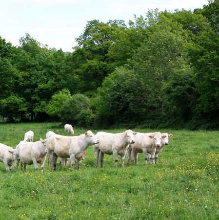 stock breeding: Charolais Cows in a lush green pasture