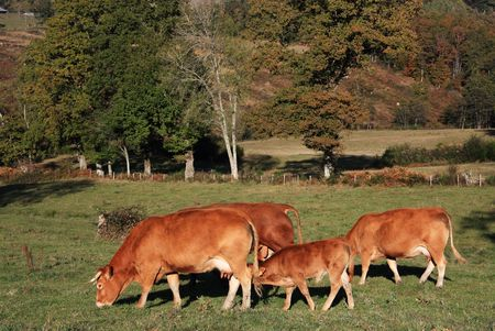 Limousin cattle and a suckling calf catch the last rays of the autumn evening sun Stock Photo - 5795491