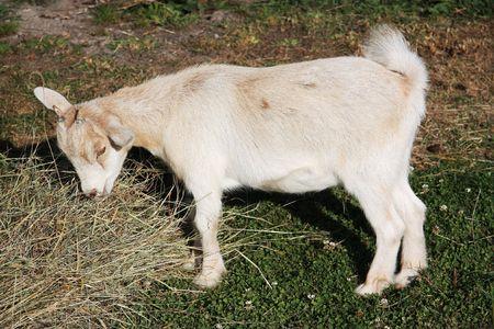 pygmy goat: A young pygmy goat enjoying its evening meal