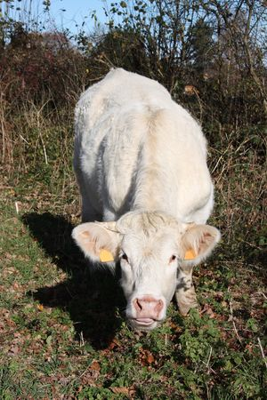 An inquisitive charolais cow approaches the camera Stock Photo - 5964715