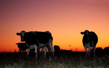 Holstein Friesian dairy cattle are silhouetted against a vivid orange winter sunset Stock Photo - 6119211