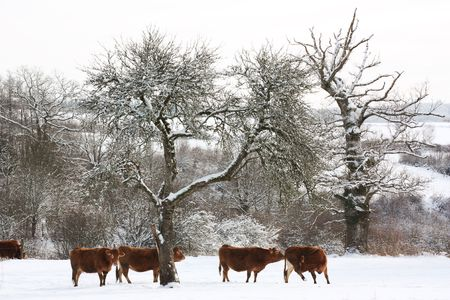 Limousin cattle in a winter landscape Stock Photo - 6281203