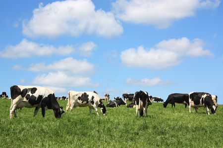Contented black and white Holstein Friesian dairy cows grazing in a lush field photo