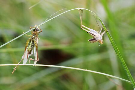 evolving: Metamorphosis - a newly emerged  long-horned  grassshopper adult suspends itself on a blade of grass to dry out alongside its shed exoskeleton skin.